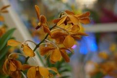 Belle orchidée jaune Image libre de droits