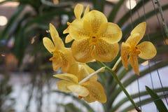Belle orchidée jaune Photos libres de droits