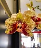 Belle orchidée jaune avec les taches brun-rougeâtre et les pétales massifs de stupéfaction photographie stock