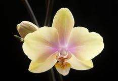 Belle orchidée-NJ Image libre de droits