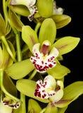 Belle orchidée - phalaenopsis Photo libre de droits