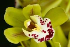 Belle orchidée - phalaenopsis Photographie stock libre de droits