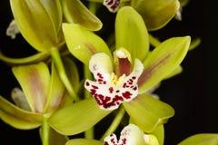 Belle orchidée - phalaenopsis Image libre de droits