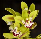 Belle orchidée - phalaenopsis Images stock