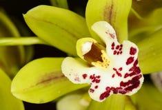 Belle orchidée - phalaenopsis Images libres de droits