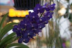 Belle orchidée pourprée Images libres de droits