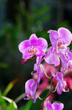 Belle orchidée rose photographie stock