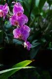 Belle orchidée rose photographie stock libre de droits