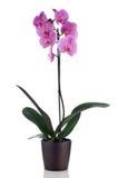 Belle orchidée rose image libre de droits