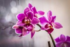 Belle orchidée rose dans la fenêtre avec le fond doux mou Images stock