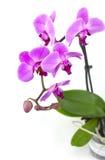Orchidée rose dans le pot Images stock