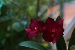 Belle orchidée rouge Photos libres de droits
