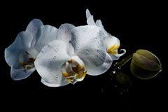 Belle orchidée sensible blanche de fleurs couverte de baisses de De Photos stock
