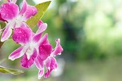 Belle orchidée sur le fond vert Photos libres de droits