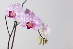 Belle orchidée sur un fond clair Photo stock