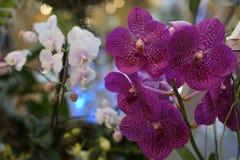 Belle orchidée violette Photo libre de droits