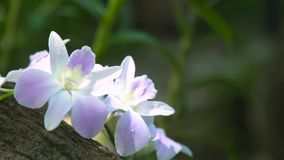 Belle orchidee dei fiori bianchi nella fine della foresta pluviale su Orchidea tropicale che fiorisce nel giardino di estate Fior video d archivio