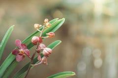 Belle orchidee di fioritura in foresta Fotografia Stock