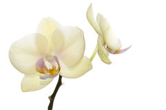 Belle orchidee giallo-chiaro, colore esclusivo Immagine Stock