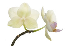 Belle orchidee giallo-chiaro, colore esclusivo Fotografie Stock Libere da Diritti