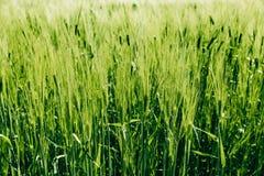 Belle orge verte dans le terrain, paysage rural finland photos libres de droits