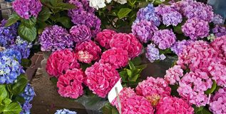 Belle ortensie colorate immagine stock
