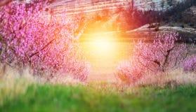 Belle pêche de fleur de ressort rose dans la forêt photos stock
