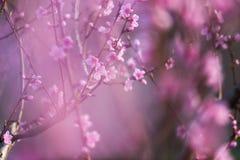 Belle pêche de fleur de ressort rose dans la forêt Photo stock