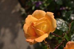 Belle pêche de floraison Rose dans le jardin Image stock