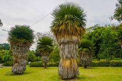 Belle palme insolite nel parco di Kuala Lumpur malaysia fotografia stock libera da diritti
