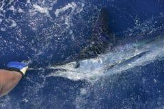 Belle pêche de sport réelle d'aiguille de mer de marlin blanc Images libres de droits