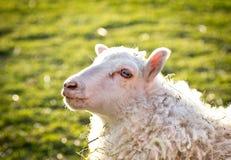 Belle pecore Fotografia Stock Libera da Diritti