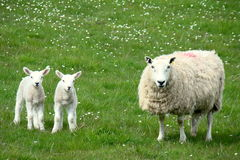Belle pecore Fotografia Stock