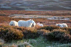 Belle pecore Fotografie Stock