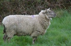 Belle pecore bianche che vagano un campo in Irlanda Immagine Stock Libera da Diritti