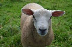 Belle pecore bianche in un campo erboso Fotografia Stock Libera da Diritti