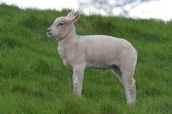 Belle pecore bianche in una posizione a distanza Immagini Stock
