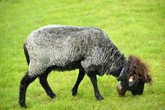 Belle pecore che pascono erba Fotografia Stock