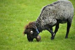 Belle pecore che pascono erba Fotografie Stock