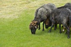 Belle pecore che pascono erba Immagini Stock Libere da Diritti