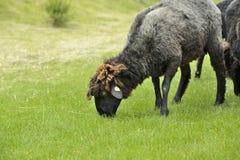Belle pecore che pascono erba Immagine Stock