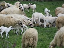 Belle pecore che pascono nel campo felice di essere libero immagine stock