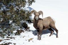 Belle pecore del Big Horn sul pendio di collina Fotografie Stock