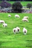 Belle pecore irlandesi, Irlanda Immagini Stock