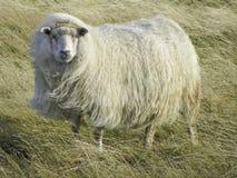 Belle pecore islandesi nel vento immagine stock