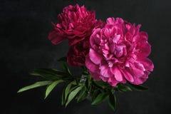 Belle peonie rosa su fondo scuro Ancora vita floreale fotografie stock libere da diritti