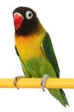 Belle perruche verte de perroquet Photo libre de droits