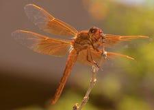 Belle pertiche arancio della libellula nel giardino Immagini Stock