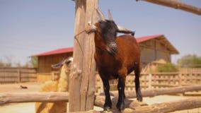 Belle petite chèvre brune sur les regards de ferme dans Meru, animaux familiers, chèvre rouge mignonne clips vidéos