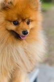 Belle petite couleur rouge pomeranian espiègle Photos libres de droits